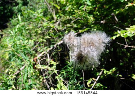 The seed head of a creeping thistle plant (Cirsium arvense), also called the Canada thistle, in a yard in Harbor Springs, Michigan during August.