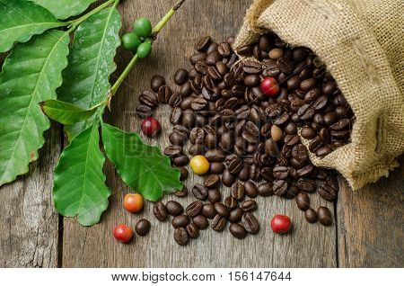 Roasted coffee beans in burlap sack with fresh coffee beans