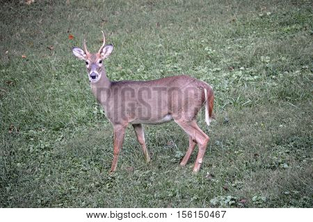 A young buck in north west arkansas