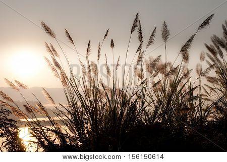 grass/grass flower background with sunset light silhouette