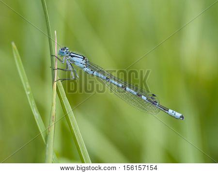 common blue damselfly Enallagma cyathigerum, closeup nature photo