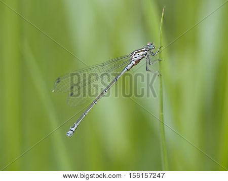 Scarce blue-tailed damselfly Ischnura pumilio, closeup nature photo