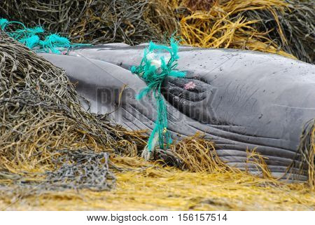 Baleen whale tangled in a fishing net.