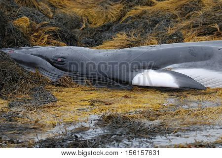 Minke whale deceased in Casco Bay Maine.