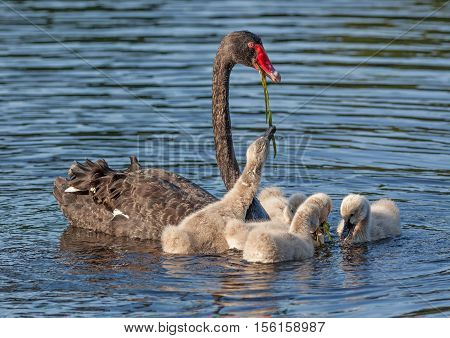 A Black Swan (Cygnus atratus), one of Australia's best-known birds, feeding its cygnets.