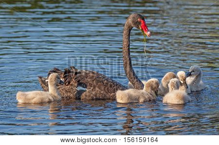 A Black Swan (Cygnus atratus) one of Australia's best-known birds feeding its cygnets.