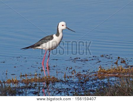 The Black-winged Stilt Common Stilt or Pied Stilt (Himantopus himantopus) is a widely distributed, very long-legged, wader in the avocet and stilt family.