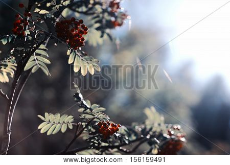 Summer ashberry in direct sunlight background hd