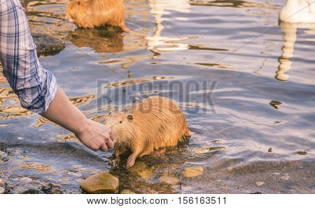 Friendly coypu eating from woman hand - Animal photography taken in Prague Czech Republic with a very friendly coypu a rat river taking food from a woman's hand.