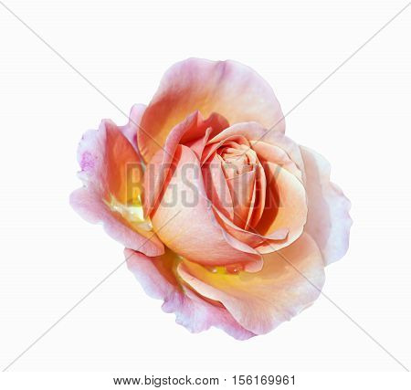 Close view of pink yellow rose blossom isolated on a white background