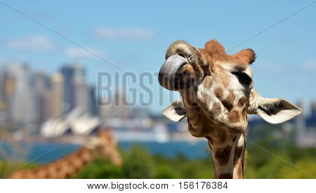 Giraffes In Taronga Zoo Sydney New South Wales Australia