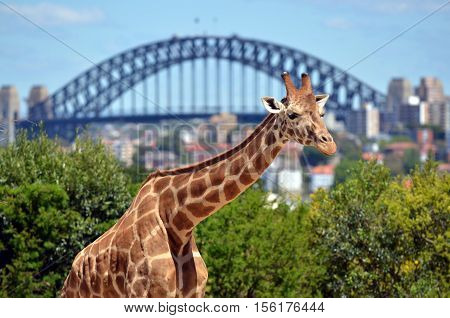 Giraffe In Taronga Zoo Sydney New South Wales Australia