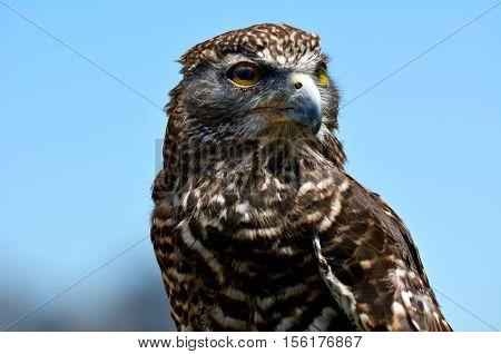Brown Falcon Portrait Against Blue Sky,