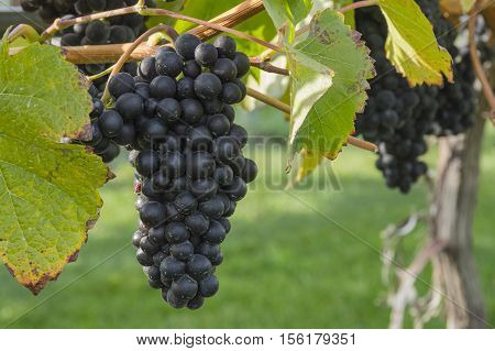 Ripened Pinot Noir Grapes in Vineyard Okanagan British Columbia Canada near Kelowna