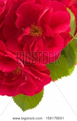 Red roses isolated on white background .