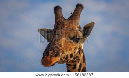 Rothschild's giraffe looking with big beautiful eyes