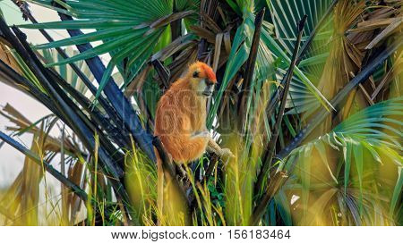 Patas Monkey sitting on Palm Tree in wild
