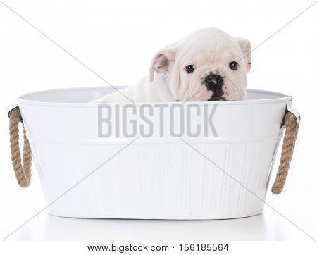 adorable bulldog puppy in a white wash basin