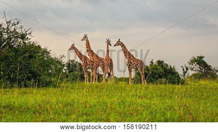 Rothschild's Giraffe grazing in early morning at Murchison Falls National Park