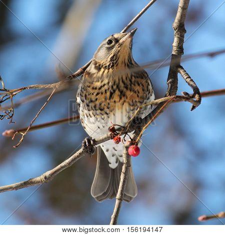 Fieldfare (Turdus pilaris). Small wild bird on a branch