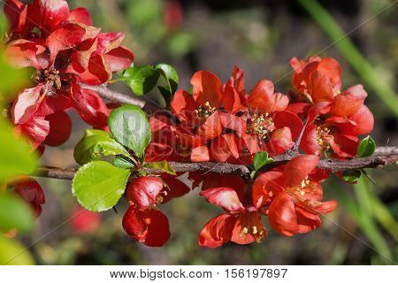Japanese quince flowers on a branch closeup