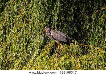 Grey Heron Bird
