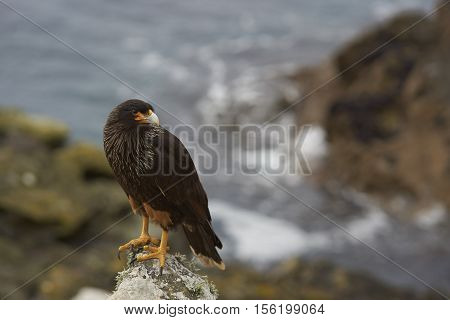 Striated Caracara (Phalcoboenus australis) standing on the cliffs on Carcass Island in the Falkland Islands.