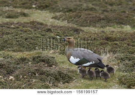 Female Upland Goose (Chloephaga picta leucoptera) with newly hatched goslings on Carcass Island in the Falkland Islands.