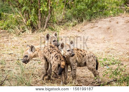 Baby Spotted Hyenas Playing.