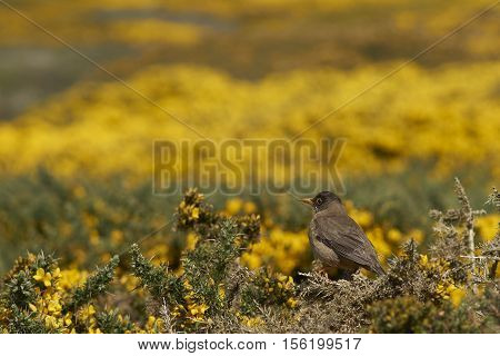 Falkland Thrush (Turdus falcklandii  falcklandii) perching on a branch of a flowering gorse bush on Carcass Island in the Falkland Islands.