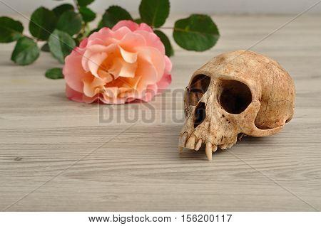 Vervet monkey skull with an orange rose