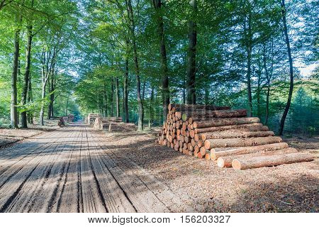 Hiking trail in Dutch National Park Veluwe with stack of sawed trunks