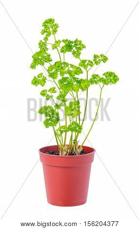 Young Seedling Of Fresh Green Parsley Leaves In Flower Pot Is Isolated On White Background, Close Up