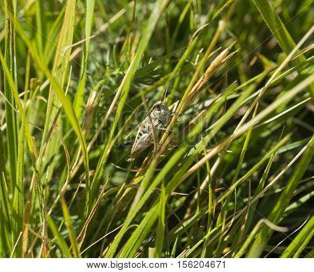 Big grasshopper on leaf in a meadow