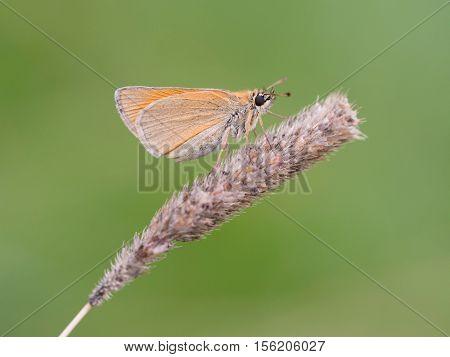 Small skipper (Thymelicus sylvestris), closeup nature photo