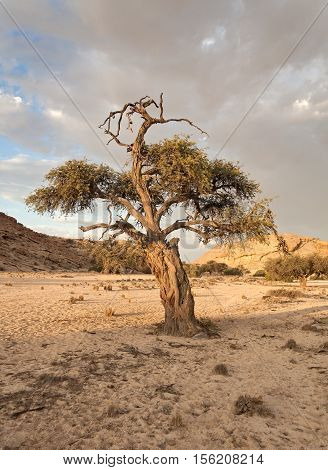 tree in the river bed of a tributary of the Swakop River, Namibia