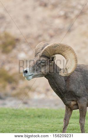 a desert bighorn sheep ram in Nevada