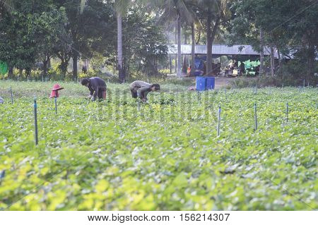 Outdoor Photo Of Two Thai Local Farmer Harvesting A Sweet Potato(yams) At Soy Bean Plants Field.soyb
