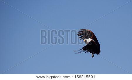 African fish eagle flying in Okavango Delta in Botswana.