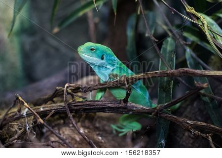 Chinese water dragon (Physignathus cocincinus) also called green water agama.