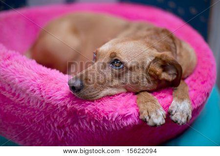 Cute brown female dog in pink basket