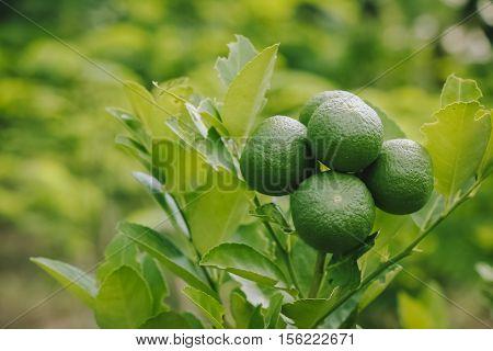 Group Of Lemon