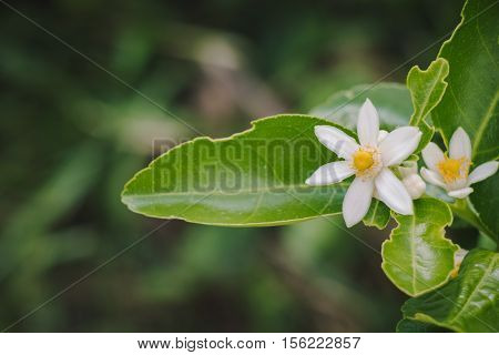 Group Of Lemon Flowers In Blossom