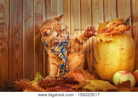 British shorthair cat in autumn. Red cat in a blue scarf with fall autumn leaves sitting on wood background . The British cat with a pumpkin and autumn leaves.