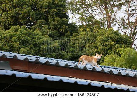 One Orange Cat Walk On A Rooftop
