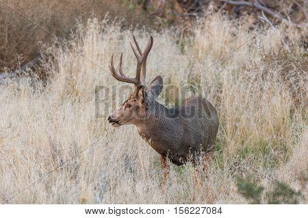 a big mule deer buck in tall grass