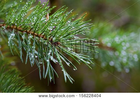 Amazing Water Drops On Pine