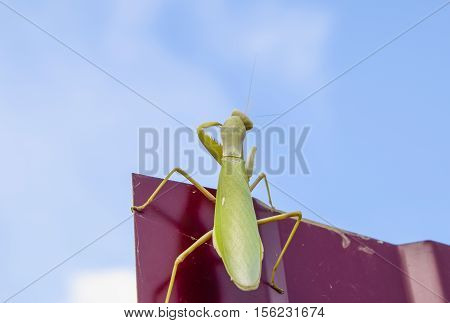 Praying Mantis On A Red Fence. Predator Insect Mantis.