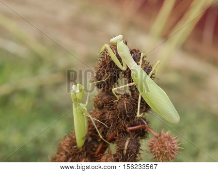 Mantis On The Tong. Mating Mantises. Mantis Insect Predator.