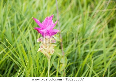 Curcuma Aeruqinosa Roxb, Siam Tulips
